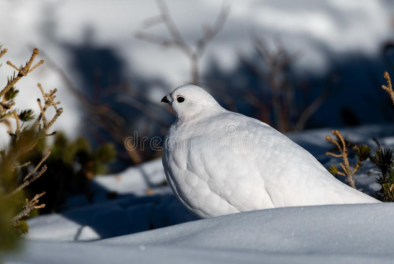 A Beautiful White-tailed Ptarmigan in White Winter Plumage. In a Snowfield royalty free stock photo
