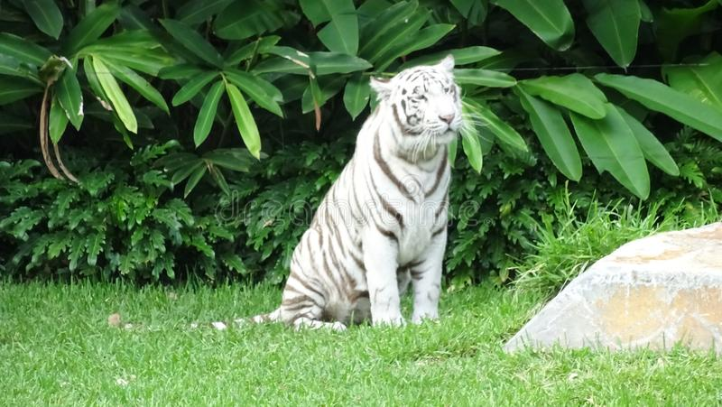 White Tiger. Beautiful white tiger at the Gold coast theme park during the show stock photo