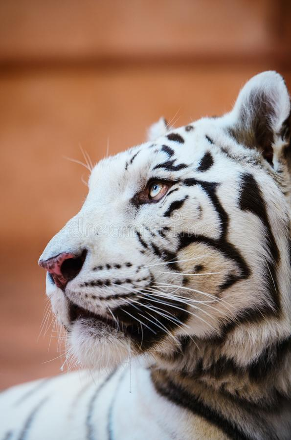 Beautiful white tiger portrait. Hunt, action, aggression, aggressive, angry, animal, background, beauty, bengal, big, carnivore, cat, danger, expression, face royalty free stock photo