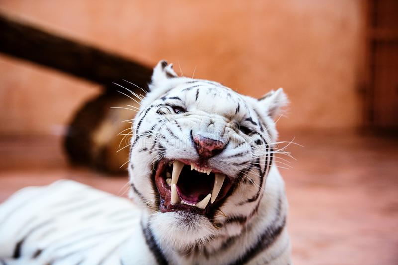 Beautiful white tiger portrait. Hunt, action, aggression, aggressive, angry, animal, background, beauty, bengal, big, carnivore, cat, danger, expression, face royalty free stock photography