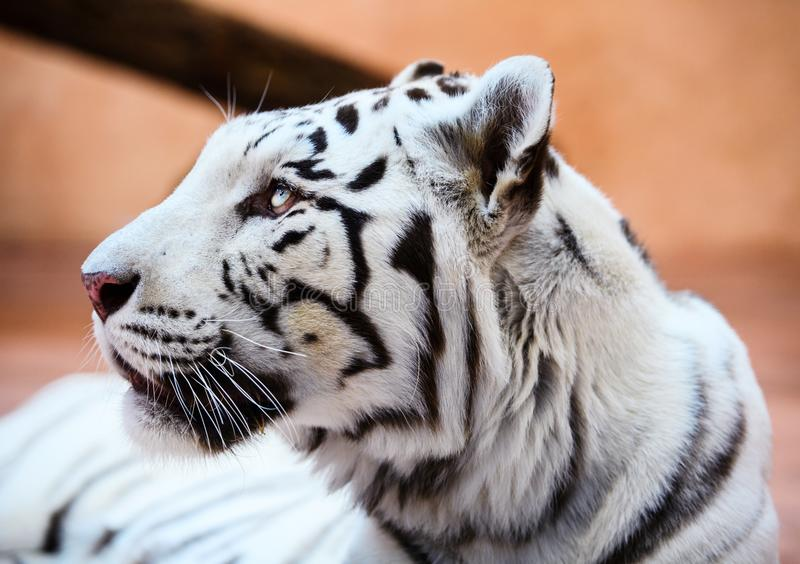 Beautiful white tiger portrait. Hunt, action, aggression, aggressive, angry, animal, background, beauty, bengal, big, carnivore, cat, danger, expression, face stock photos