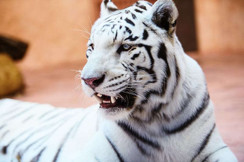Beautiful white tiger portrait. Hunt, action, aggression, aggressive, angry, animal, background, beauty, bengal, big, carnivore, cat, danger, expression, face stock photography
