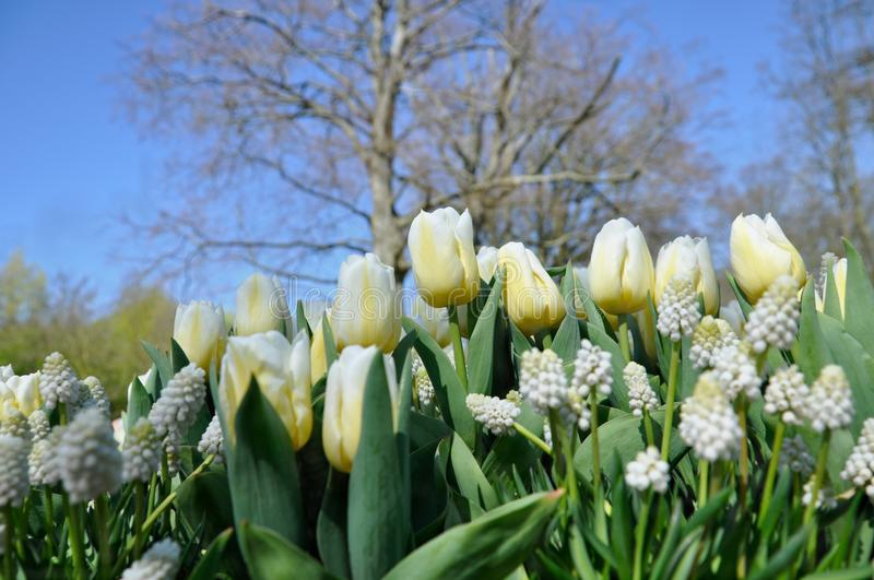 Beautiful white tulips in closeup in the Keukenhof, the Netherlands stock images