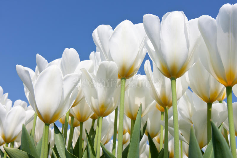 Beautiful white tulips looking to the sky. Beautiful white tulips looking to the blue sky royalty free stock photo