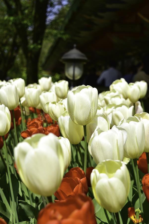 White and red tulips in park. stock photos