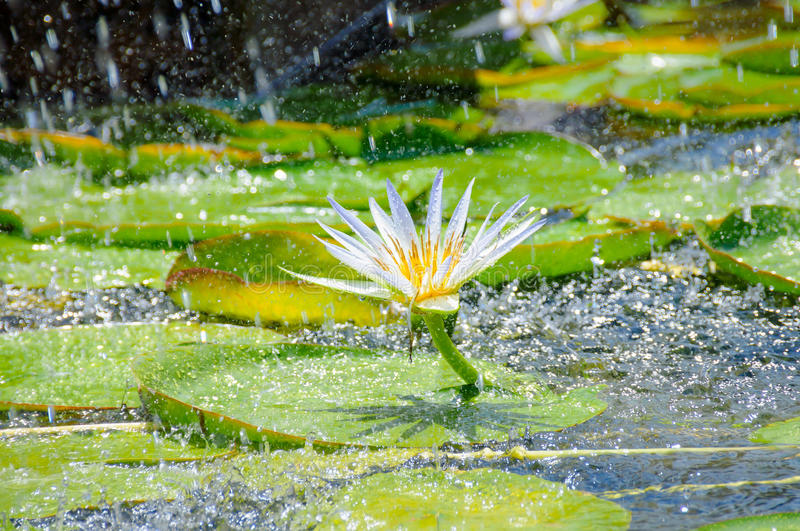 Beautiful white water lily. Beautiful white water lilies, a small pond in the garden stock photo
