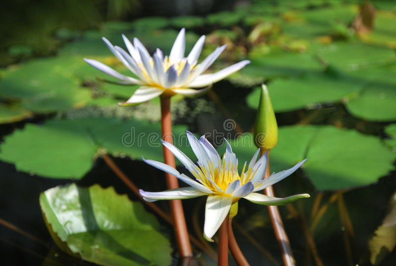 Beautiful white water lilies. On the surface of lake in the botanical garden in Oxford, in the UK. White flower floating on the water stock photo