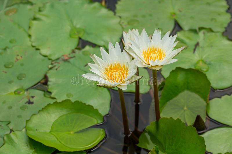 Beautiful white waterlily. With background of green leaf royalty free stock photography