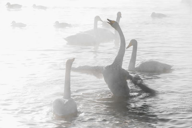 Beautiful white whooping swans royalty free stock photo