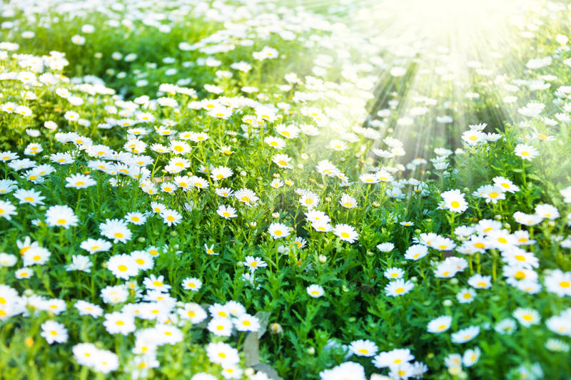 Beautiful white wildflowers royalty free stock photo