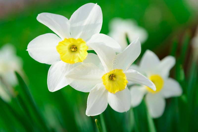Beautiful White and yellow daffodils. Yellow and white narcissus royalty free stock photography