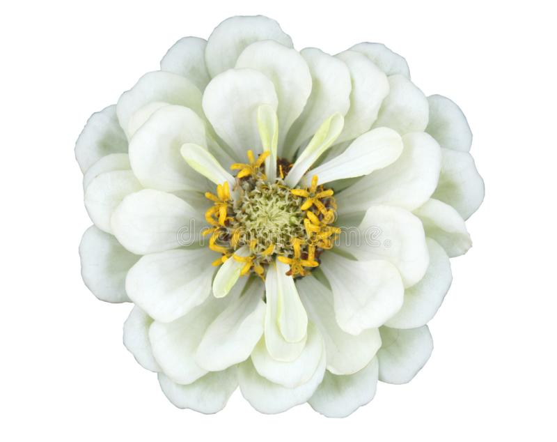 Zinnia flower. Beautiful white zinnia flower isolated on white background stock images