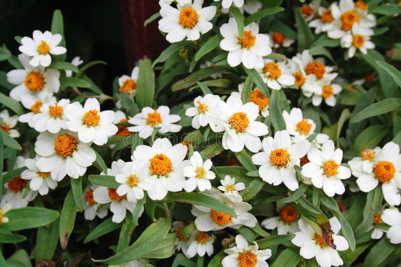 Download The Beautiful White Zinnias Royalty Free Stock Photo - Image: 22475535