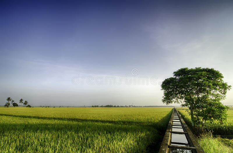 Beautiful wide view yellow paddy field in the morning. blue sky and single tree on the left stock photos