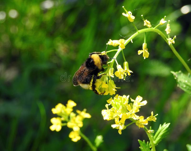 Beautiful bumblebee on yellow flower, Lithuania royalty free stock images