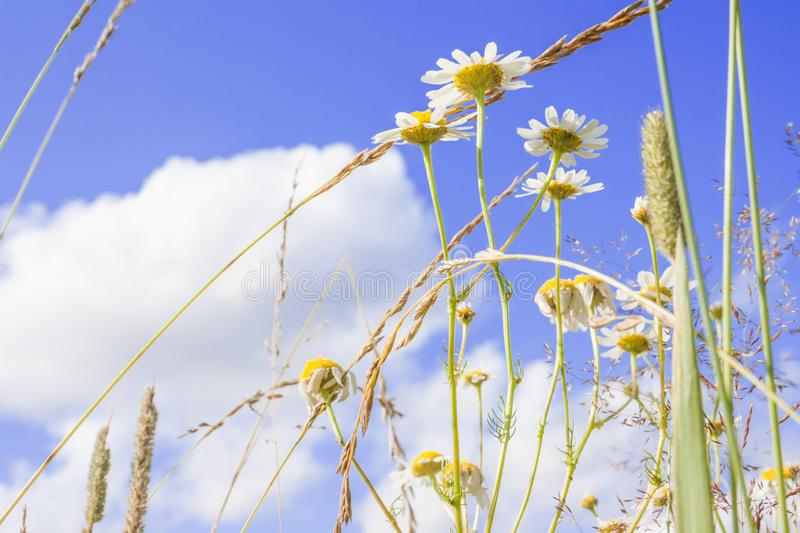 Beautiful wild camomile flowers in the meadow on deep blue sunny sky background. royalty free stock photos