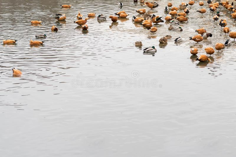 Beautiful wild ducks surrounded by a flock of seagulls swim in the ice-free sea estuary in winter. Wintering of waterfowl royalty free stock image