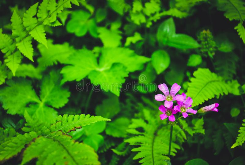 Beautiful wild flowers, group of tiny bright pink flowers with blur fern foliage and different green leaves. Beautiful wild flowers, group of tiny bright pink royalty free stock photo