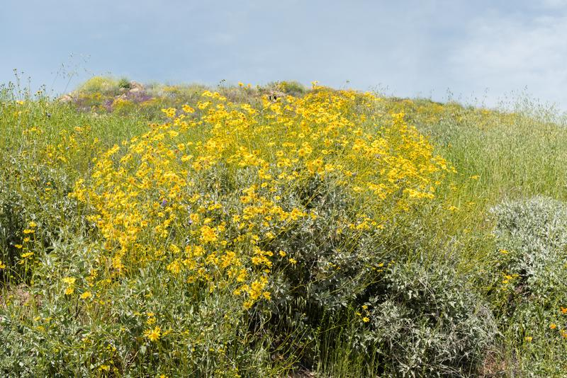 Beautiful wild flowers - a part of the superbloom phenomena in the Walker Canyon mountain range near Lake Elsinore. Southern California stock photography