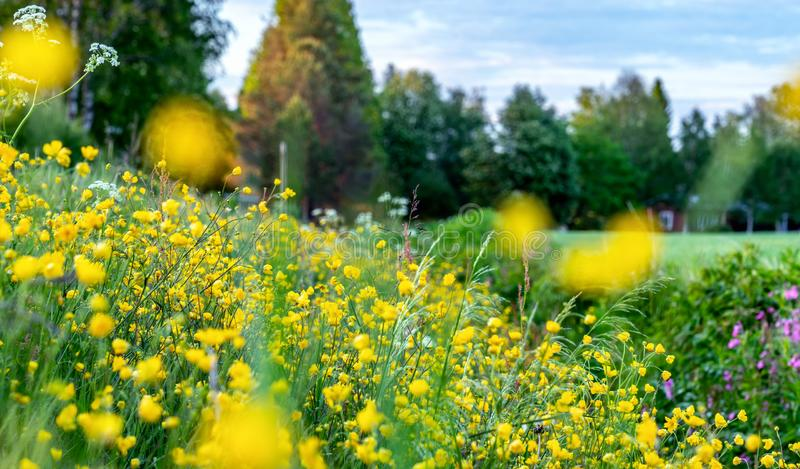 Beautiful wild flowers on the roadside and ditch, summer meadow, sunset time - close up photo with blurry background, Sweden. Landscape, outside of Umea city royalty free stock image