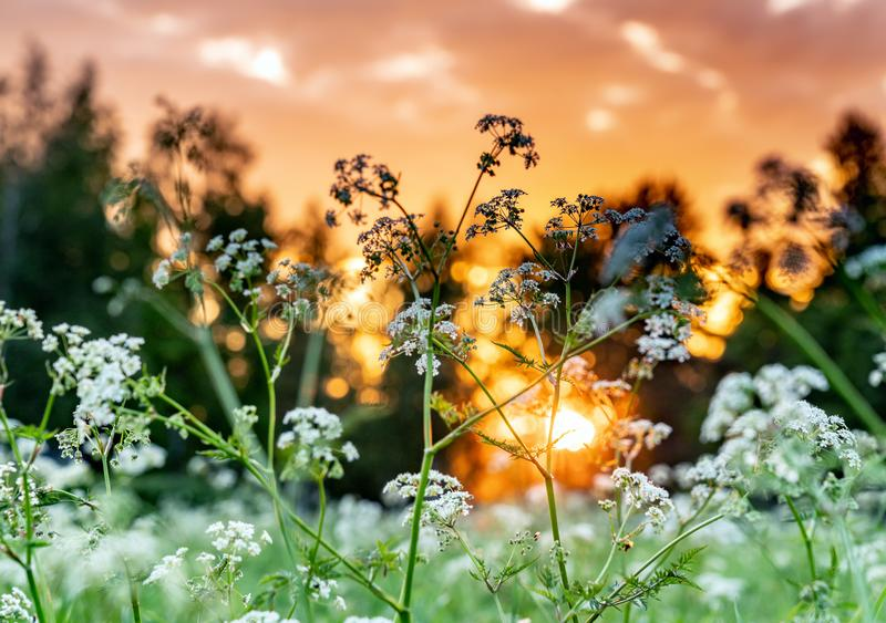 Beautiful wild flowers on summer meadow, sunset time - close up photo with blurry background and bokeh, Sweden landscape royalty free stock photos