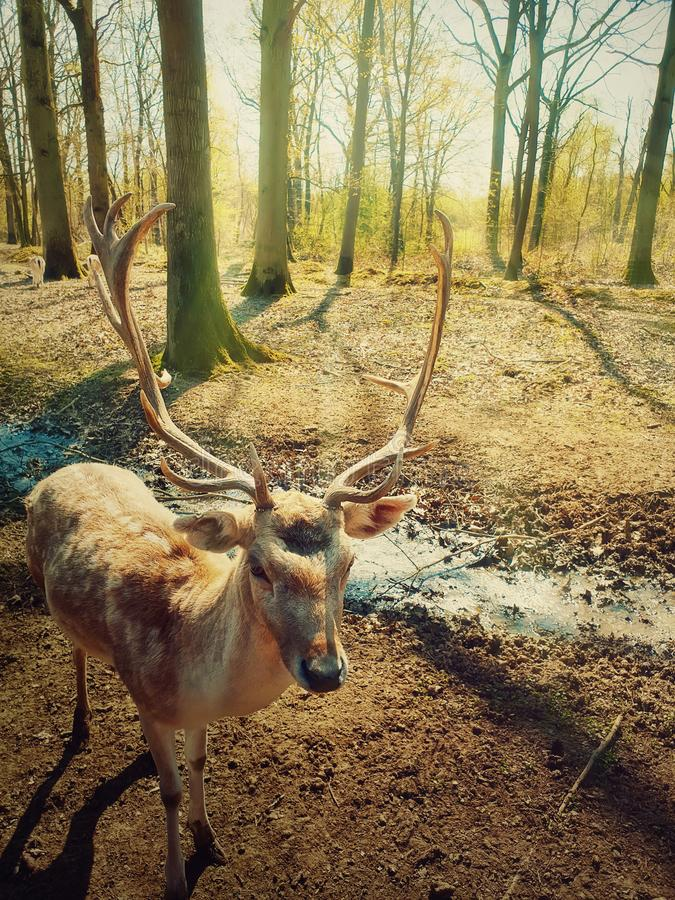 Beautiful wild forest scene as the morning sun shine through the trees and a fairytale deer stag walks carefully royalty free stock photography