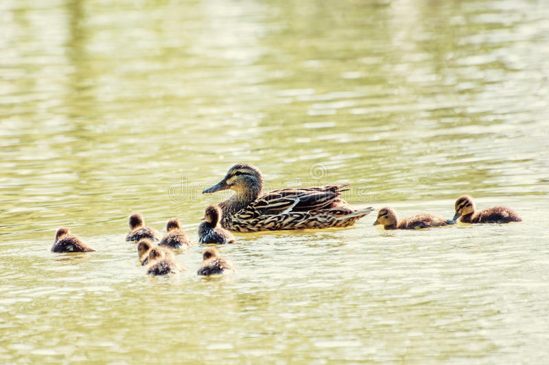 Beautiful wild Mallard duck with youngs, yellow filter royalty free stock images