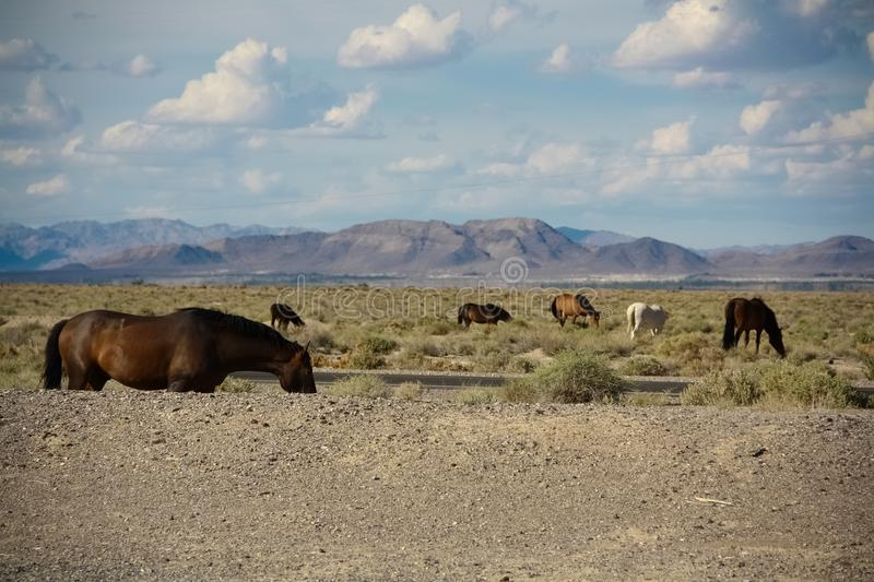 Beautiful Wild Mustang Horses grazing in the Mojave Desert, Nevada stock photography