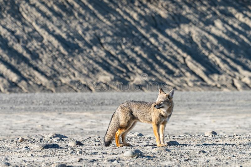 Beautiful wild patagonian red fox walk in sun shine in the morning in the rock mountain, south Patagonia, Argentina stock photography