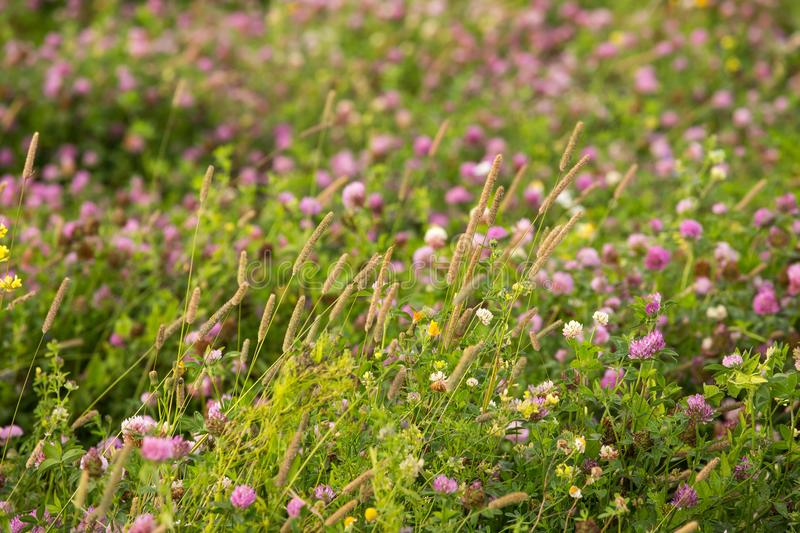 Beautiful wild pink clover flowers, plants and green grass closeup background. Outdoor nature photo stock photo
