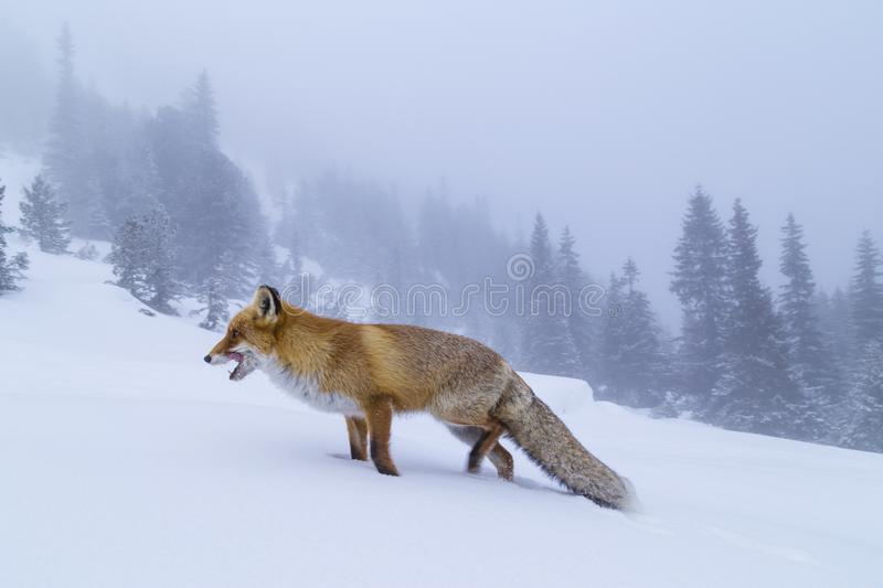 Beautiful wild red fox in the snow, in the mountains. Beautiful wild red fox, in the mountains, in winter, with white powder snow royalty free stock images