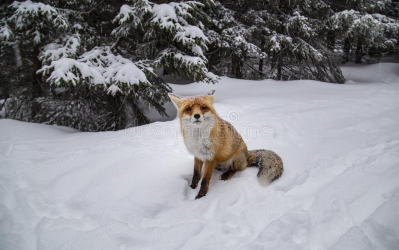 Beautiful wild red fox in the snow, in the mountains. Beautiful wild red fox, in the mountains, in winter, with white powder snow stock photos