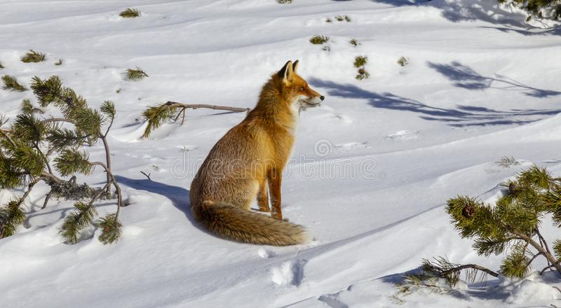 Beautiful wild red fox in the snow, in the mountains. Beautiful wild red fox, in the mountains, in winter, with white powder snow royalty free stock photos