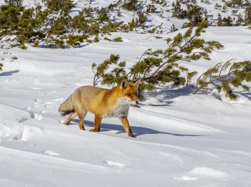 Beautiful wild red fox in the snow, in the mountains. Beautiful wild red fox, in the mountains, in winter, with white powder snow royalty free stock image