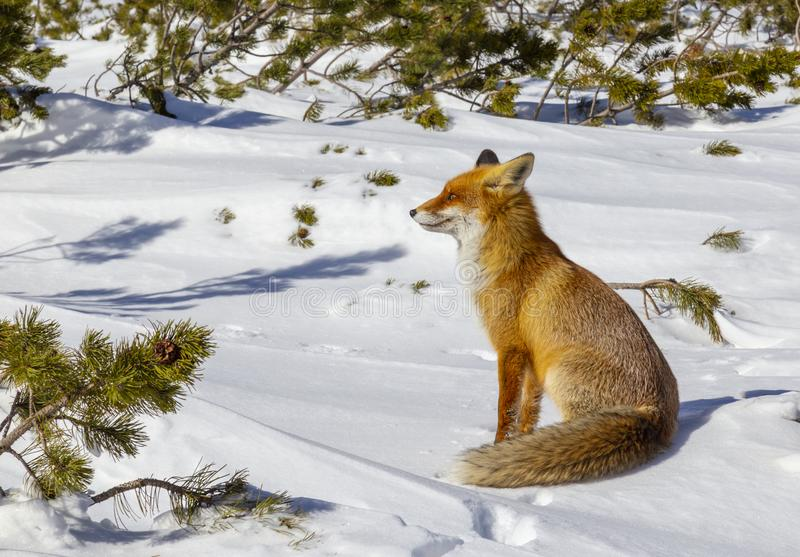 Beautiful wild red fox in the snow, in the mountains. Beautiful wild red fox, in the mountains, in winter, with white powder snow royalty free stock photography