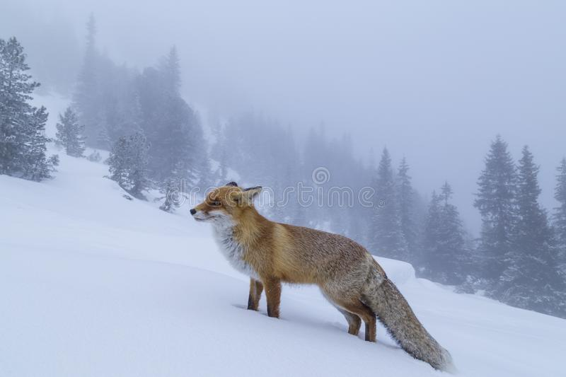 Beautiful wild red fox in the snow, in the mountains. Beautiful wild red fox, in the mountains, in winter, with white powder snow stock image