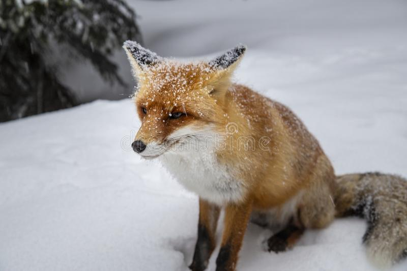 Beautiful wild red fox in the snow, in the mountains. Beautiful wild red fox, in the mountains, in winter, with white powder snow royalty free stock photo