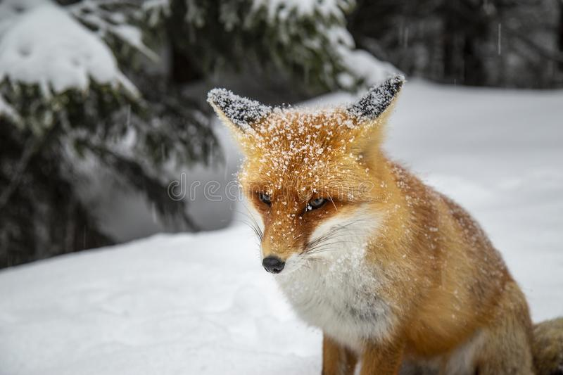 Beautiful wild red fox in the snow, in the mountains. Beautiful wild red fox, in the mountains, in winter, with white powder snow stock images