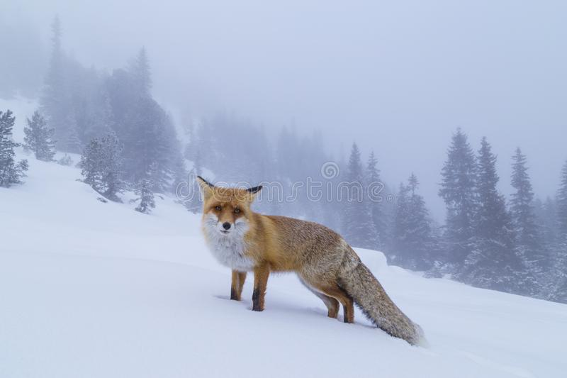 Beautiful wild red fox in the snow, in the mountains. Beautiful wild red fox, in the mountains, in winter, with white powder snow stock photography