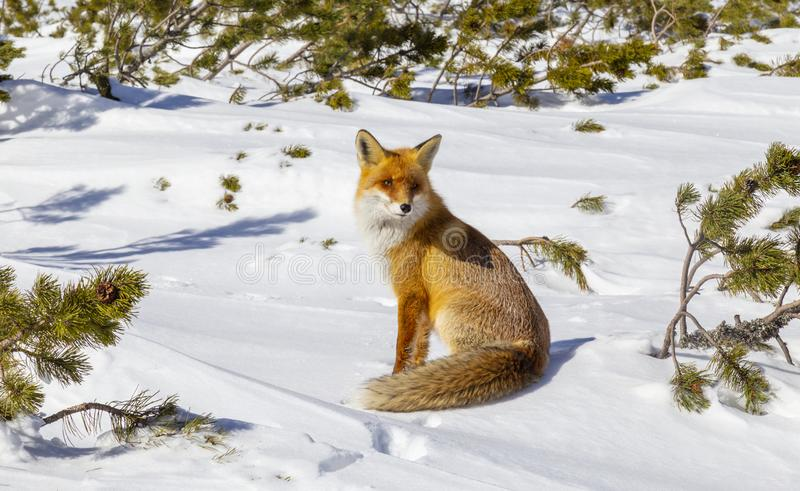Beautiful wild red fox in the snow, in the mountains. Beautiful wild red fox, in the mountains, in winter, with white powder snow stock photo