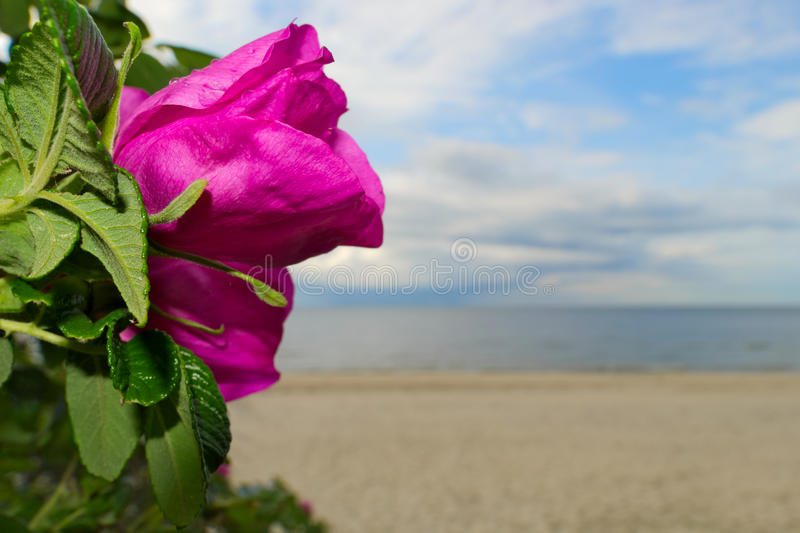 Beautiful wild rose (rosa canina) blooming at the seaside. stock photo