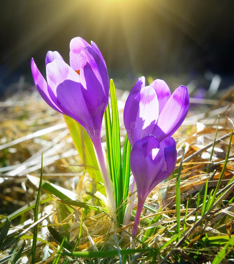 Beautiful wild violet flowers in spring forest. Close up photo of crocuses with warm sunlight royalty free stock photography