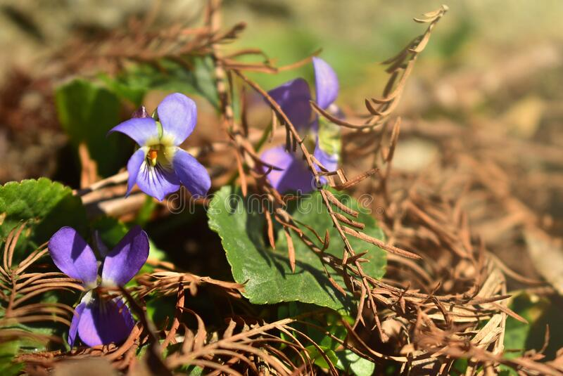 Beautiful wild violet flowers on sun rays. Group of Beautiful wild violet flowers on sun rays, with dry leaves and pine needles, in spring, in a forest royalty free stock images