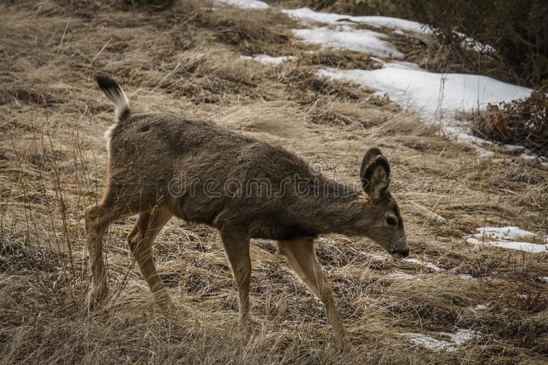 Beautiful wild White-tail Deer in a Field early spring in east of british columbia. Buck, animal, fur, nature, wildlife, brown, forest, grass, mammal, majestic royalty free stock photo