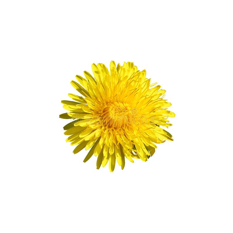Beautiful wild yellow bud flower dandelions with petals closeup isolated on white background royalty free stock photo