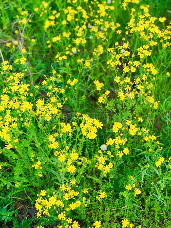Beautiful wildflowers of yellow color in green young grass. stock photos