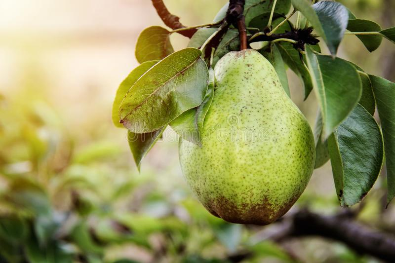 Beautiful William pear on branch stock photo