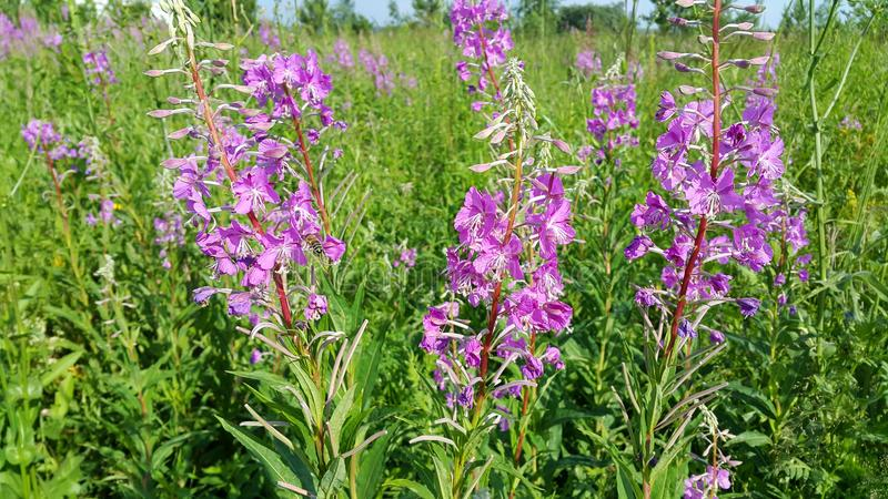 Beautiful Willow-herb flowers royalty free stock image