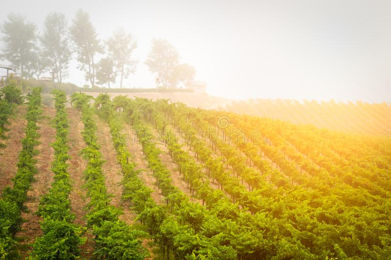 Beautiful Wine Grape Vineyard In The Morning Sun stock photo