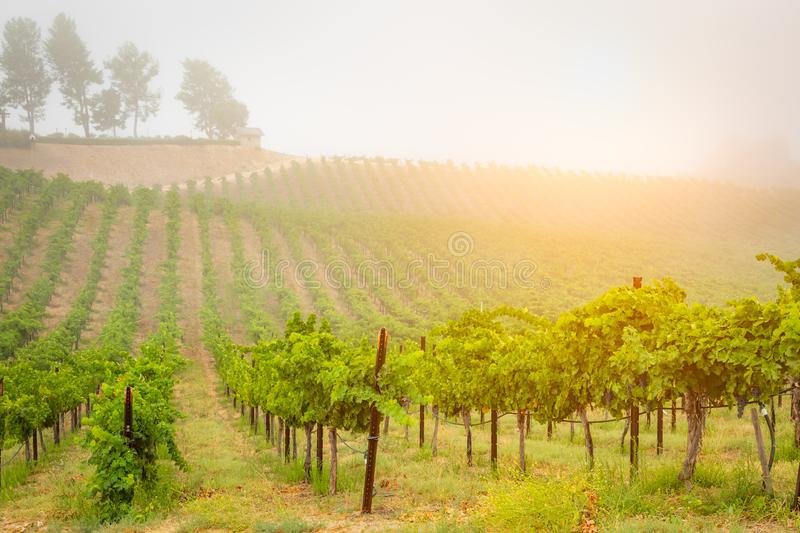 Beautiful Wine Grape Vineyard In The Morning Sun royalty free stock photo